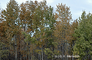 Instead of turning their normal yellows and oranges, many of the deciduous trees in Alberta were caught in a freeze and died, turning the leaves brown.