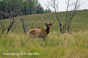 Domestic Elk