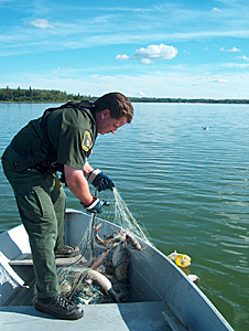 Alberta Fish and Wildlife Officer pulling illegal net.