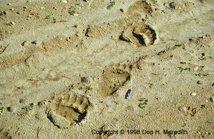 grizzly bear tracks