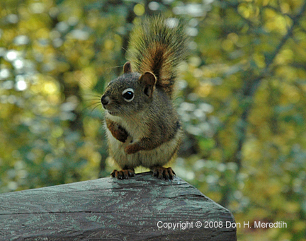 2008-09 Meredith-RedSquirrel